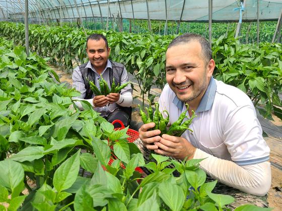 Two seasonal migrant workers from Uzbekistan harvest chili at a farm in Yanggu County, Gangwon on June 23. [PARK JIN-HO]