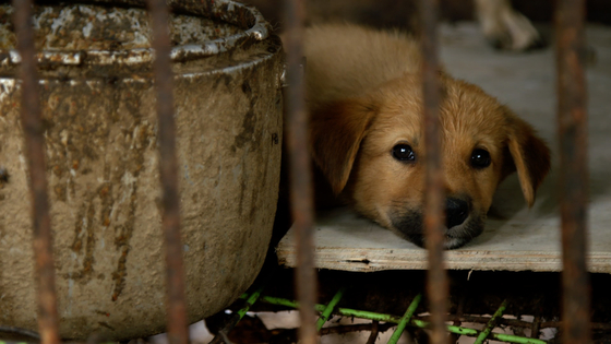 """A scene from the film. The dog """"Nureongi,"""" which is the most common type of dog breed in Korea, trapped in a cage of a dog farm. [JUST BRIGHT PRODUCTIONS]"""