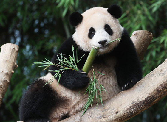 Baby panda Fubao munches bamboo on her first birthday on Tuesday at Everland, an amusement park in Gyeonggi. On July 20, 2020, Fubao was the first panda to be born on Korean soil. Avid followers of the baby panda have been watching her grow online through photos and videos released by the theme park. [YONHAP]