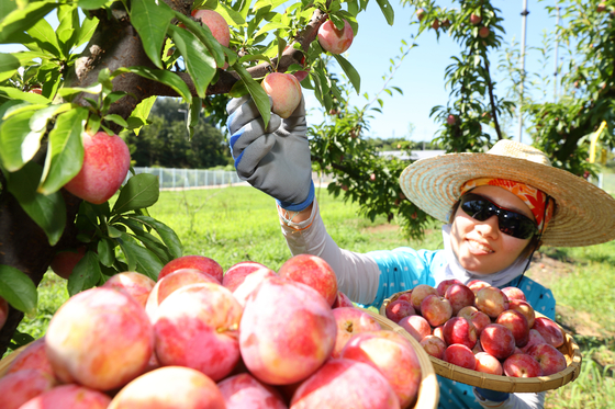 A researcher picks jelly hearts from a tree on Tuesday at a farm owned by the Rural Development Administration in Wanju County, North Jeolla. The jelly heart is a new variety of plum developed by the administration, known to be more sweet and less sour. [YONHAP]