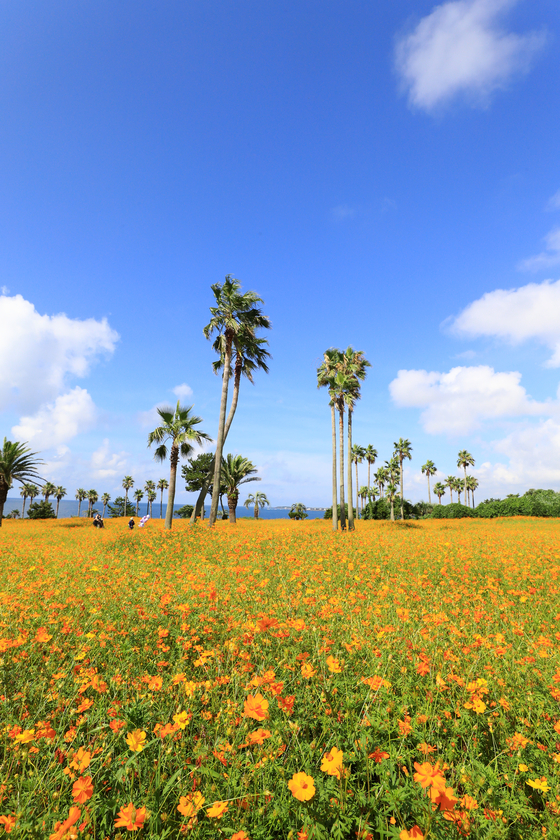 Visitors at the Sono Calm Jeju Hotel & Resorts in Seogwipo, Jeju, enjoy the scenic view of a garden filled with yellow cosmos flowers on Wednesday. [YONHAP]
