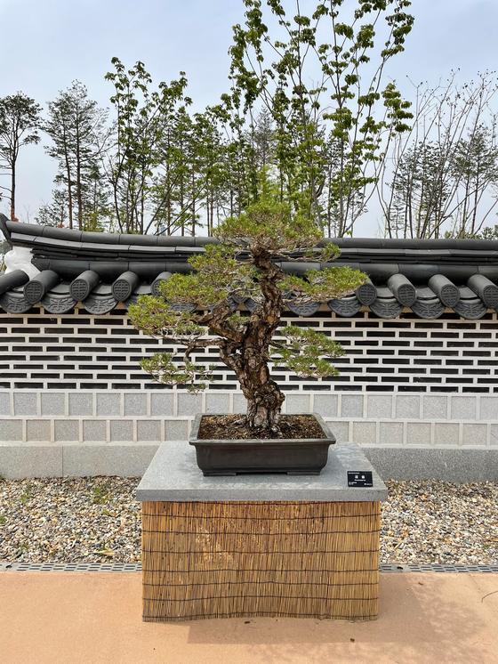A bunjae tree is displayed at Sejong National Arboretum. [LEE SUN-MIN]