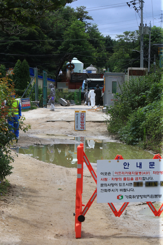 A culling is carried out at a pig farm in Goseong, Gangwon Province on Sunday after an Africa swine fever (ASF) case was confirmed at the farm. It is the first ASF case in three months. The last case was in Yeongwol, Gangwon Province in May. [YONHAP]