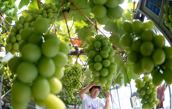 A farmer harvests shine muscat, a type of sweet, seedless green grape, on Monday at a farm in Geochang County, South Gyeongsang. [YONHAP]