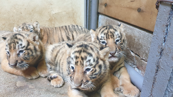 Four of five newly-born tiger cubs lie together at Everland in Gyeonggi. Everland announced Thursday that a tigress gave birth to five cubs on July 26. The Siberian tiger, also called the Korean tiger, is an endangered species in Korea and a litter of five cubs is unusual. [YONHAP]