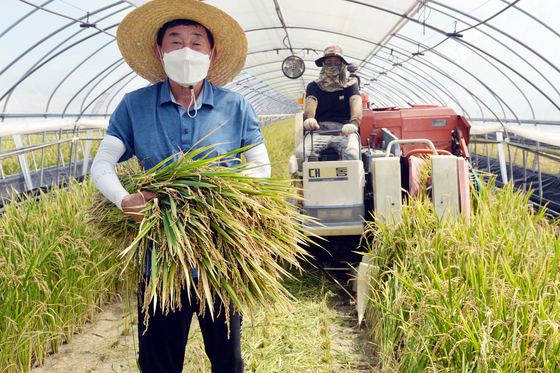 A farmer harvests bbareumi rice, a special type that has a shorter growth period, at a farm in Buyeo County, South Chungcheong. The rice was harvested 84 days after it was first planted on May 25. Chungcheongnam-do Agricultural Research & Extension announced it will try to harvest bbareumi rice once more in November, the third crop of the year — a first for Korea. [KIM SUNG-TAE]