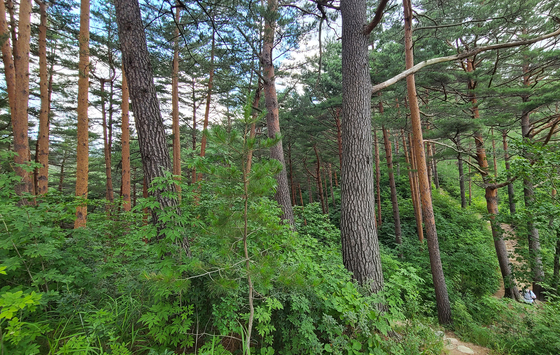 Geumgang pine trees are known to grow straight up and close together, making them excellent for premium lumber. [SOHN MIN-HO]