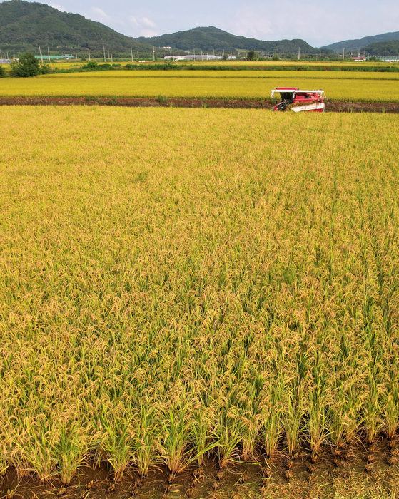 A farmer harvests rice at a paddy field in Cheorwon County, Gangwon on Wednesday, the first rice harvest for the region. [YONHAP]