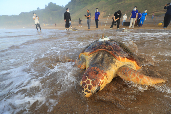 Workers from Hanhwa Aqua Planet, an aquarium in Jeju Island, release six artificially-born or rescued sea turtles into the sea at a beach in Seogwipo, Jeju, during the Sea Turtle Release Event on Thursday. Hosted by the Ministry of Oceans and Fisheries, the event works to save the endangered sea turtles. [YONHAP]