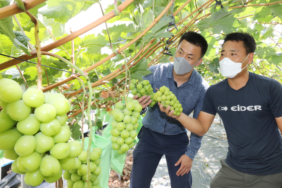 Choi Won-sik, right, who runs a 1.8-hectare (4.6-acre) vineyard in Gimcheon, North Gyeongsang, examines shine muscat grapes. [EMART]