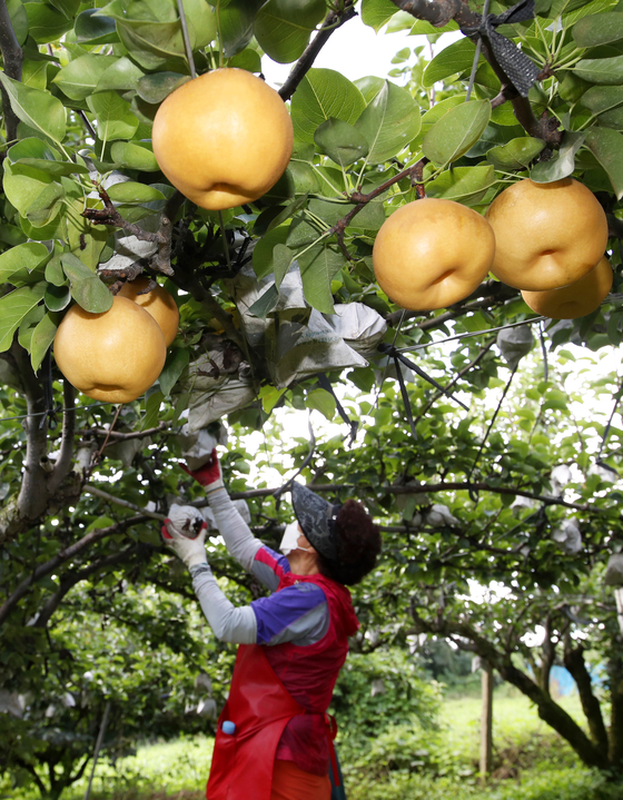 A farmer picks pears from a tree in Naju, South Jeolla, on Wednesday. Pears are being harvested nationwide ahead of the Chuseok holiday, which falls on Sept. 21. [YONHAP]