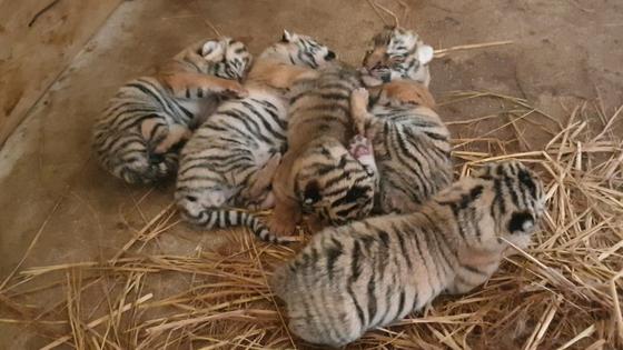 New-born Korean tigers at Everland [EVERLAND]
