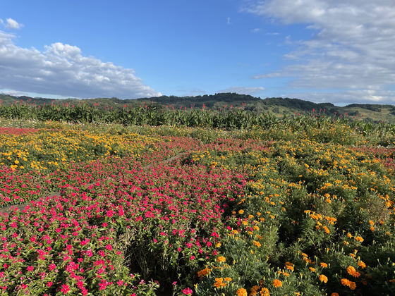 The newly opened Daepssari Park in Yeoncheon County, is home to many different colorful flowers. [LEE SUN-MIN]