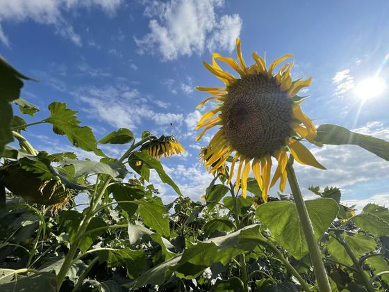 Horogoru Fortress in Yeoncheon County in Gyeonggi is popular thanks to its field of sunflowers. [LEE SUN-MIN]