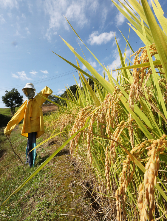 A scarecrow stands in the middle of a rice paddy in Jinan County, North Jeolla, on Thursday, also known as Chubun. Chubun, or the Autumnal Equinox, is a day on the lunar calendar when the day and night are equal in length, marking the beginning of fall. [YONHAP]