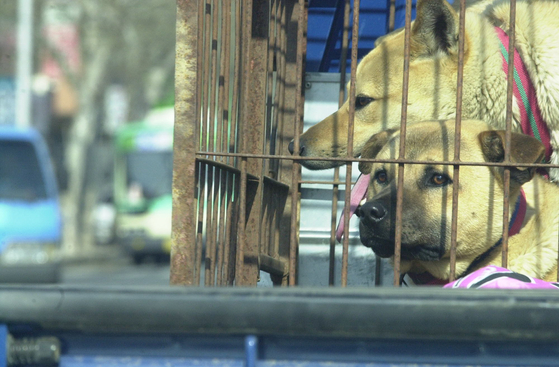 Dogs in a cage being transported in Daegu in this file photo in July 2017. [CHO MUN-KYU]
