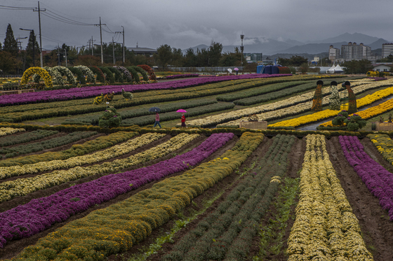 Rows of pink and yellow chrysanthemums are seen in Yeoncheon County, Gyeonggi, on Friday. The Chrysanthemum Exhibition was scheduled to open Friday, but was cancelled due to the fourth wave of the Covid-19 pandemic. A total of 150,000 chrysanthemums have been planted since May. [YONHAP]