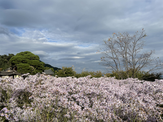 Bongcheon Temple in Mungyeong, North Gyeongsang, is becoming a hotspot for visitors thanks to the aster flowers being in full bloom. [LEE SUN-MIN]
